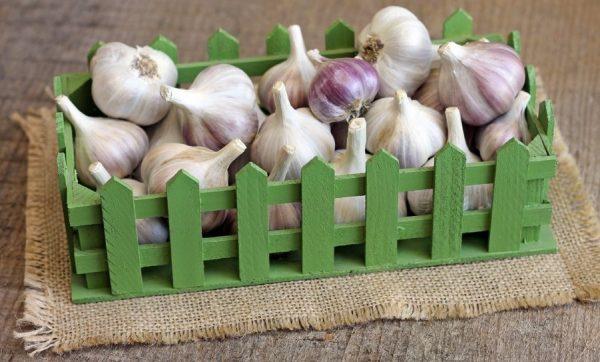 Перед завязыванием стеблей в пучки и отправкой храниться в ящики обязательно требуется тщательно просушить овощ