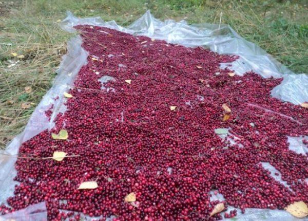 Большой урожай ягод необходимо быстро перебрать