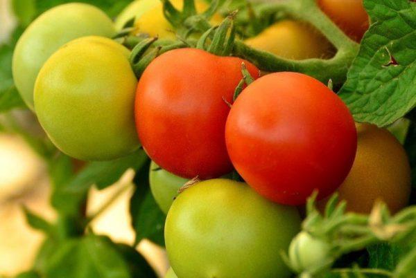 Есть несколько способов дозревания зеленых плодов на выкопанных целиком растениях
