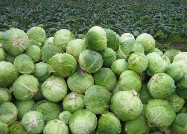 Овощи сохранятся гораздо дольше, если соблюдать необходимые условия их зимовки