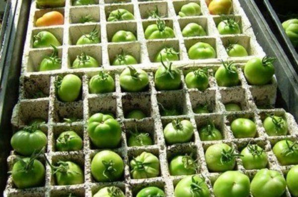 Зеленые помидоры можно хранить различными способами