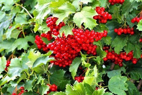 как сохранить плоды калины на зиму