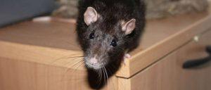 Как избавиться от крыс в частном доме, сарае и квартире навсегда народными средствами