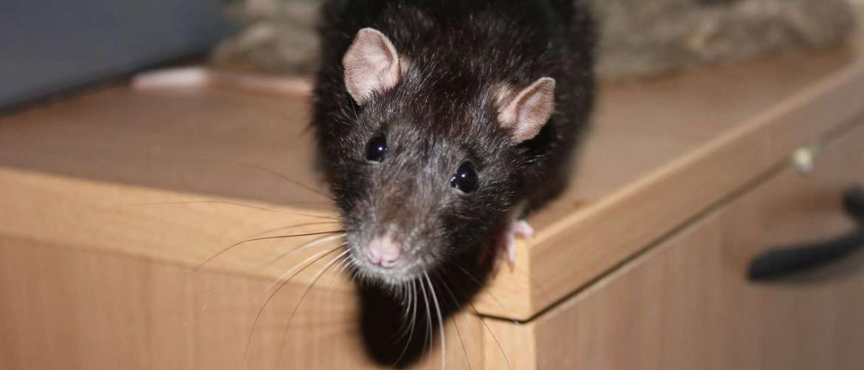 Как разложить отраву для мышей