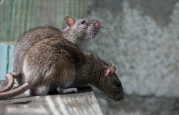 В хозяйственном магазине найти отраву для мышей не составит труда