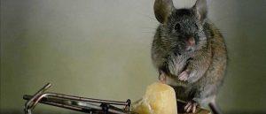 Как бороться с крысами в частном доме