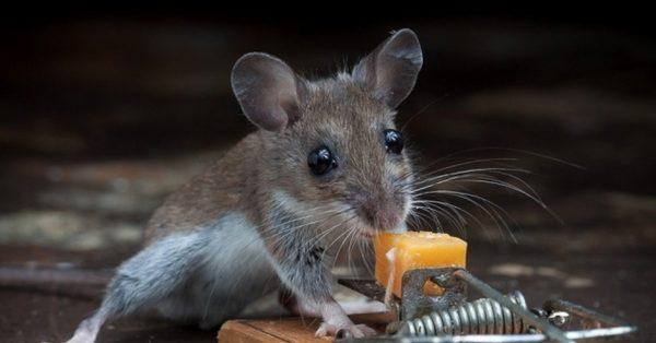 Как поймать мышь в квартире: 5 способов