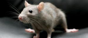 Борьба с крысами в частном доме как уничтожить крыс