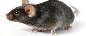 В доме завелась крыса как избавиться