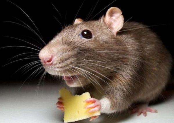 Мыши чувствуют себя комфортно в соседстве с человеком