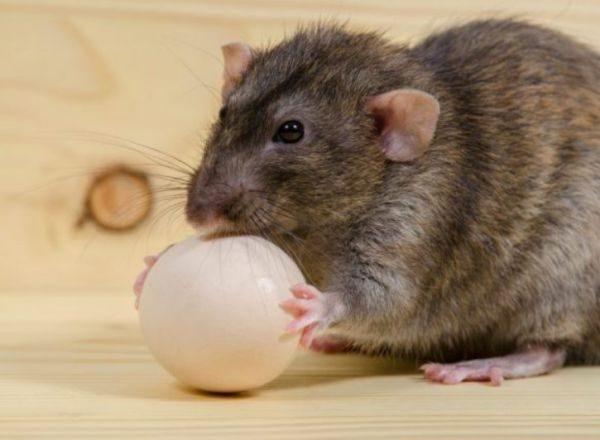 Как избавиться от крыс в частном доме: эффективные методы