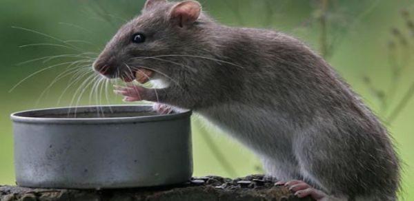 Издавна для борьбы с крысами или мышами в доме заводили кошку