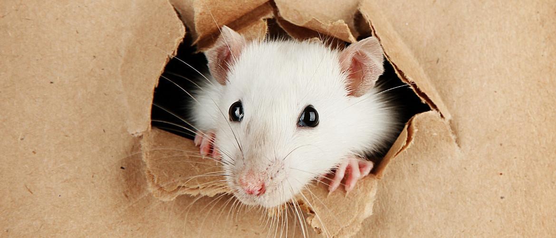 Какой утеплитель не грызут крысы и мыши