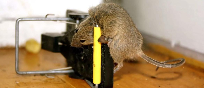 Народные средства от мышей в квартире
